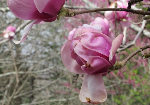 A pink blossom on a tree on UNC Asheville campus.