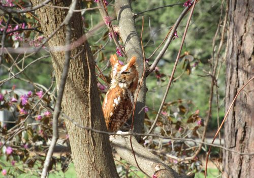 A small brown owl sits in a tree on UNC Asheville campus.